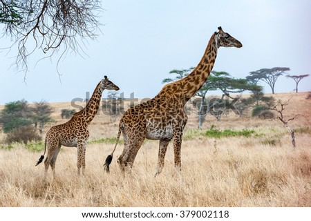 Mother and baby giraffe wending their way through the serengeti  - stock photo