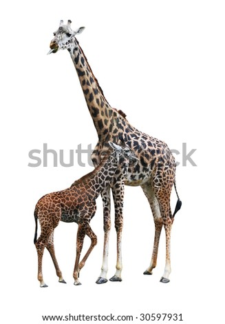mother and baby giraffe with clipping path