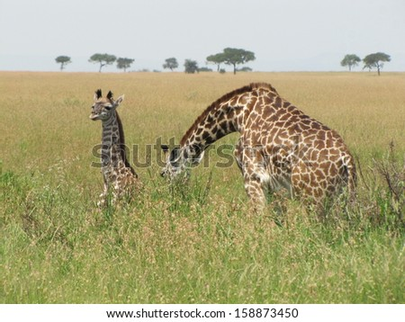Mother and baby giraffes resting in the grassland of Serengeti - stock photo