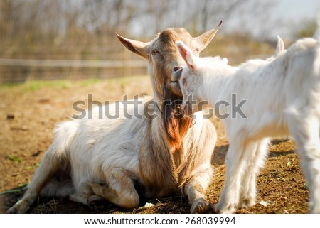 mother and baby goat together - stock photo