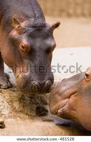 Mother and baby Hippo - Denver Zoo - stock photo