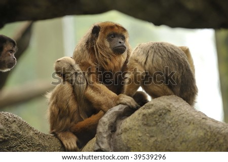 Mother and baby Howler monkeys sitting in tree of rain forest
