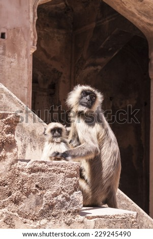 Mother and Baby Indian Gray langurs or Hanuman langurs (Semnopithecus entellus) Monkey on the steps of a deserted palace - stock photo