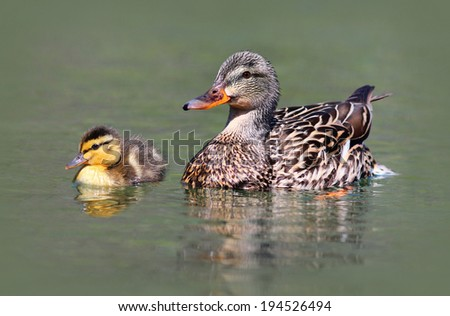 Mother and Baby Mallard Duck - stock photo