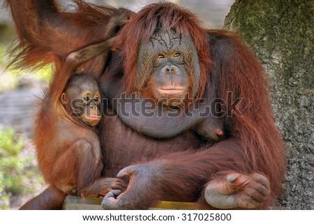 Mother and baby orangutan. - stock photo