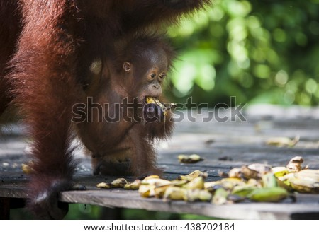 Mother and baby Orangutan eating bannaba in south Borneo, Indonesia jungle - stock photo