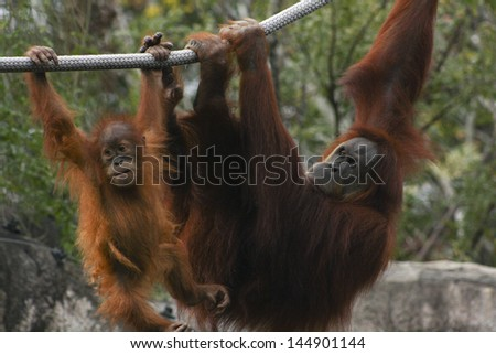 Mother and baby orangutan hang from ropes - stock photo