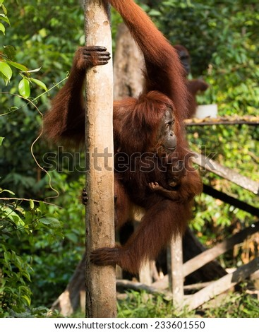 Mother and baby Orangutan hanging on the tree in the jungle of Borneo Indonesia.