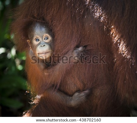 Mother and baby Orangutan in south Borneo, Indonesia jungle - stock photo