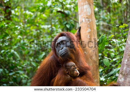 Mother and baby Orangutan in the jungle of Borneo Indonesia. - stock photo