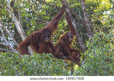 Mother and Baby Orangutans in tree in rain forest - stock photo