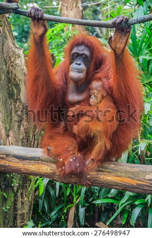 Mother and baby orangutans with a green background