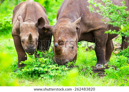 Mother and baby Rhino calf grazing in green grass vegetation. - stock photo