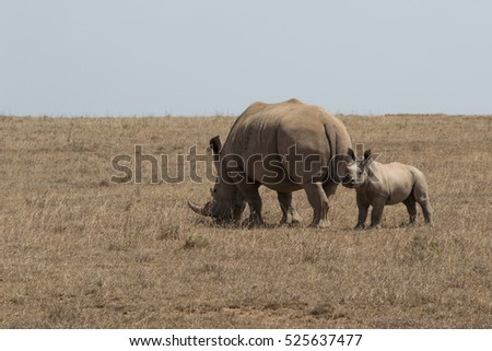 Mother and baby wild white rhinoceros with adult rhino grazing on the dried grass. Photographed in natural light in Kenya.