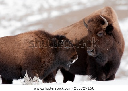 Mother and calf bison look at each other, Yellowstone National Park, winter - stock photo