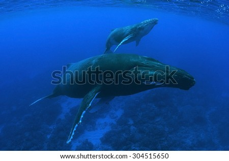 MOTHER AND CALF HUMPBACK WHALE IN THE CLEAR WATER OF RURUTU ISLAND - stock photo