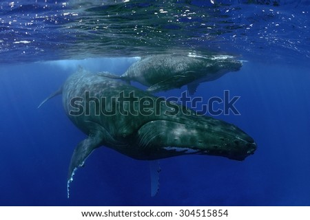 MOTHER AND CALF HUMPBACK WHALE SWIMMING ON SURFACE - stock photo
