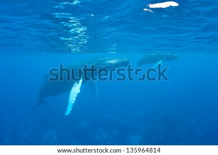 Mother and calf Humpback whales (Megaptera novaeangliae) surface in the Caribbean Sea to breathe.  Humpbacks in the Atlantic migrate from the New England area to the Caribbean to breed and give birth. - stock photo