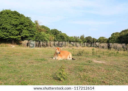 mother and child, cow's mother love in Sai Kung, Hong Kong Global Geopark - stock photo