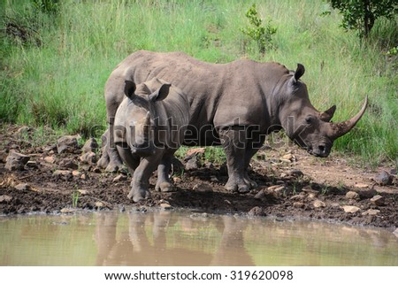 Mother and child rhinoceros drinking water at the edge of a watering hole - stock photo
