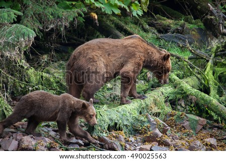 Mother and cub brown bear walking along a stream in Alaska