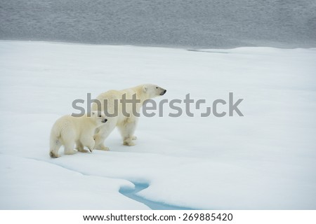 Mother and cub polar bears walk along ice floe in Arctic Ocean above Svalbard Norway - stock photo