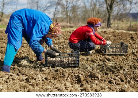 Mother and daughter planting potatoes into plowed soil - stock photo