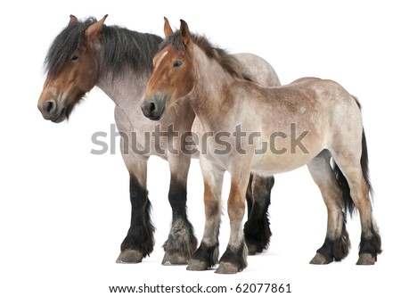 Mother and foal Belgian horse, Belgian Heavy Horse, Brabancon, a draft horse breed, 5 years old, standing in front of white background and 13 months old