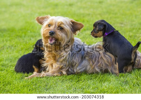 Mother and its lovely children. The yorkshire terriers - stock photo