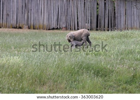 mother and lamb nursing in historic convict trail area of longford - stock photo