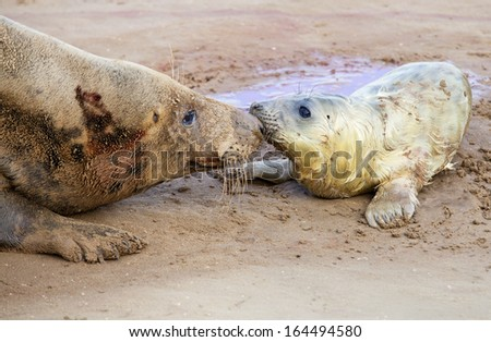 Mother and newborn grey seal pup, Donna Nook, Uk - stock photo