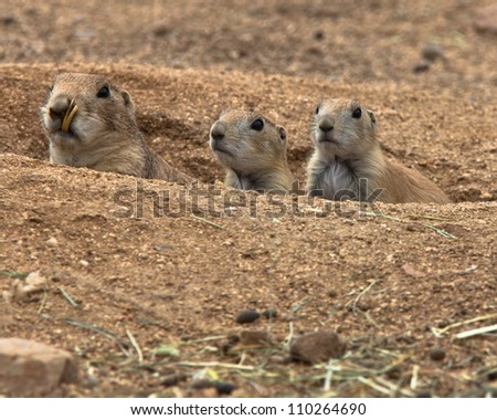 Mother and two baby prairie dogs peaking out of burrow looking toward camera - stock photo