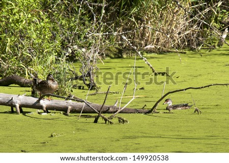 Mother and young wood duck in Fernan Lake, Idaho. - stock photo