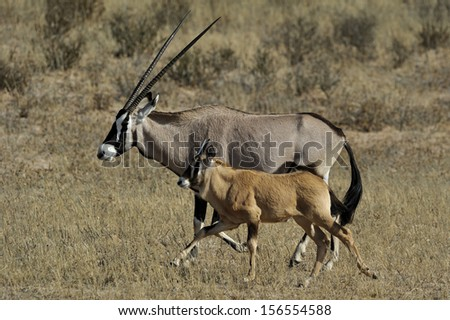 Mother and youngster Oryx.Kgalagadi Transfrontier Park.
