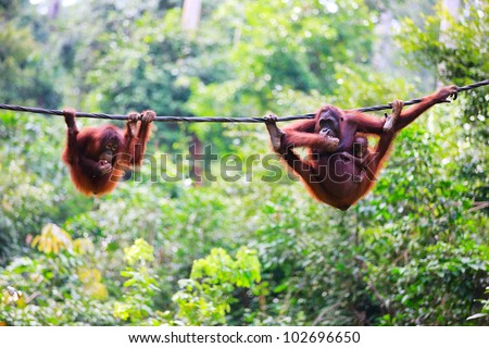 Mother, baby and child orangutans from Sabah in Malaysian Borneo - stock photo