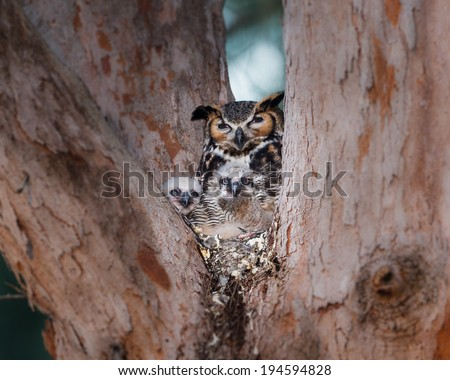 Mother bard owl with two owlettes - stock photo
