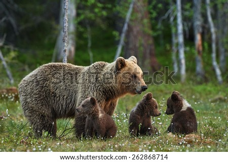 Mother bear and three small and adorable puppies in the Finnish taiga - stock photo