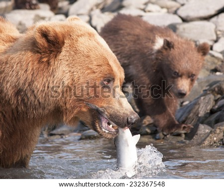 mother bear shows salmon to son - stock photo