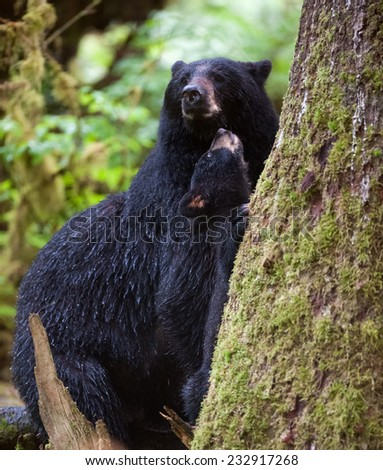 Mother black bear and cub at the base of a tree in the rainforest, cub is looking up thoughtfully at his mother - stock photo