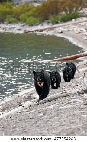 Mother black bear with her triplets running towards the camera on the shore of Waterton Lake, Alberta, Canada.