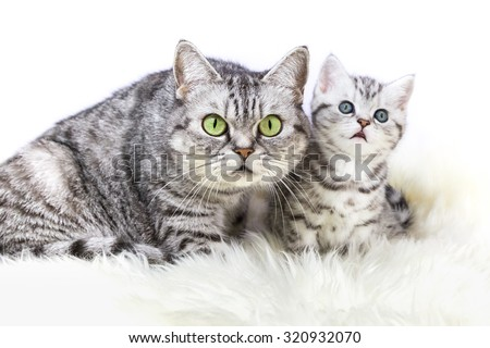 Mother british short hair silver tabby cat sitting with young kitten isolated on white background - stock photo