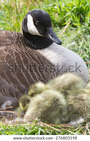Mother Canada Goose sat on her nest with gosling chicks. - stock photo