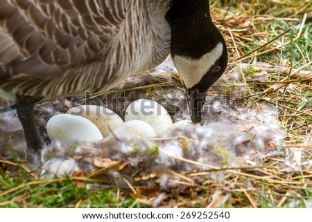 Mother Canada Goose tending to her eggs in her nest. - stock photo