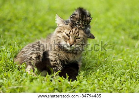 Mother cat playing with a small kitten - stock photo