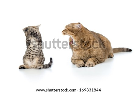 mother cat shouting at the frightened kitten child