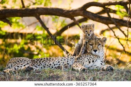 Mother cheetah and her cub in the savannah. Kenya. Tanzania. Africa. National Park. Serengeti. Maasai Mara. An excellent illustration. - stock photo