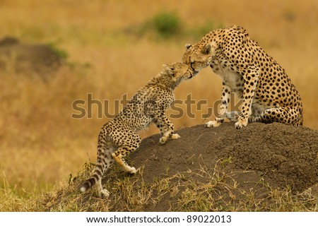 Mother cheetah kissing the cub - stock photo