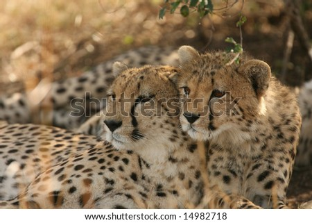 Mother Cheetah with her baby looking over her shoulder.
