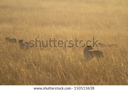 Mother cheetah with three cubs in grassland - stock photo