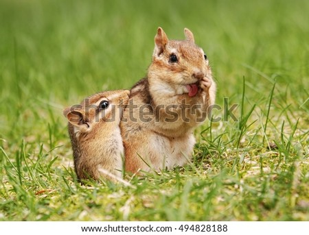 Mother chipmunk with baby outside of the burrow